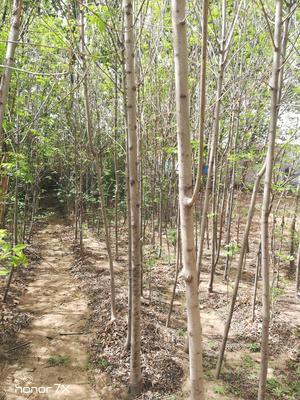 山东省泰安市岱岳区速生白蜡 2.5~3米