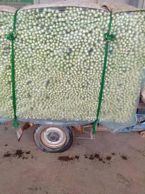 河北省邯郸市永年县皇妃芹菜 40~45cm 大棚种植 0.5~1.0斤