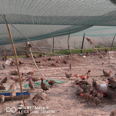 安徽省池州市东至县七彩山鸡 2-3斤
