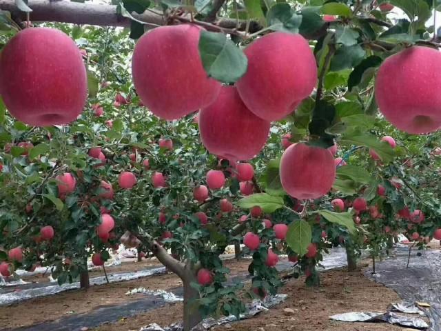 红富士苹果小叶病难治理
