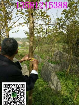 湖北省恩施土家族苗族自治州恩施市银杏实生树