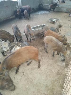 山东省菏泽市巨野县特种野猪 20-30斤 统货