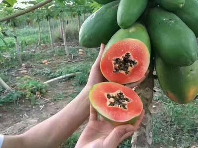 广西壮族自治区崇左市龙州县红心木瓜 2 - 2.5斤