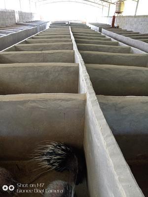 江西省上饶市德兴市中华豪猪 20-30斤
