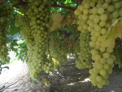 新疆维吾尔自治区吐鲁番地区鄯善县无核白葡萄 5%以下 1次果 1-1.5斤