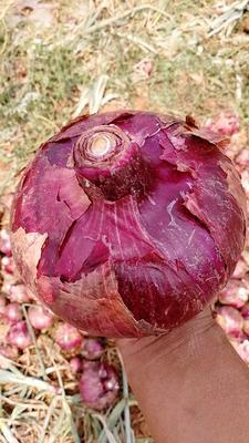 云南省红河哈尼族彝族自治州个旧市红皮洋葱 4~8cm 红皮 4两以上