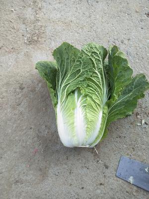 河南省南阳市新野县菊锦春白菜 6~10斤 二毛菜