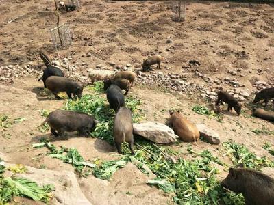 四川省巴中市巴州区特种野猪 120斤以上 统货