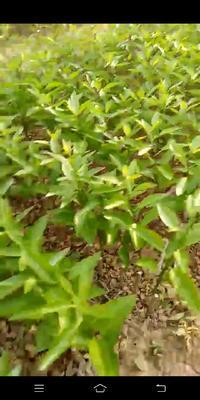 广西壮族自治区贺州市富川瑶族自治县柑树苗 0.5~1米