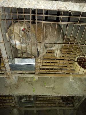 山东省济宁市任城区獭兔种兔 3-5斤