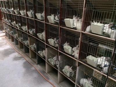 河南省周口市鹿邑县獭兔种兔 3-5斤