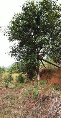 云南省普洱市景谷傣族彝族自治县一百多年古树茶 散装 特级