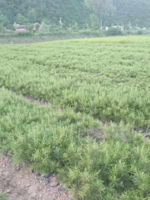 甘肃省天水市麦积区天水白皮松