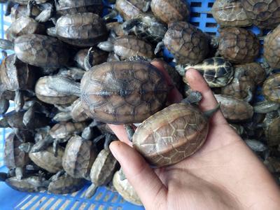 广东省广州市荔湾区中华草龟