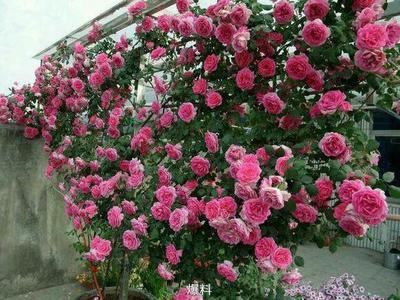 河南省南阳市卧龙区大花月季