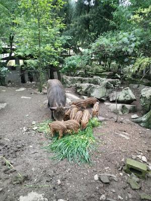 重庆北碚区特种野猪 160-200斤 统货