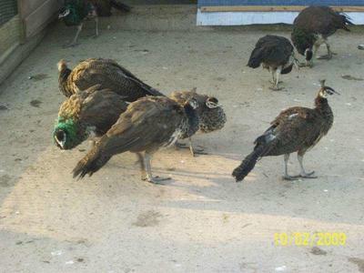 广西壮族自治区钦州市钦北区孔雀蓝山鸡 3-4斤