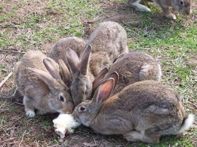 江西省赣州市石城县比利时野兔 1斤以下