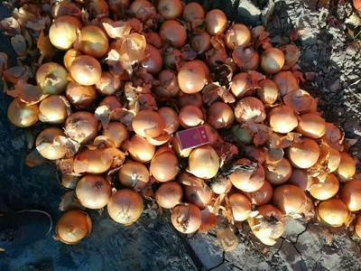 内蒙古自治区赤峰市林西县黄皮洋葱 8cm以上 黄皮 4两以上