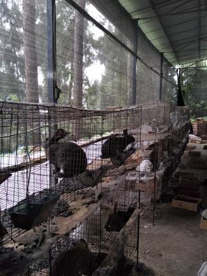 四川省巴中市巴州区杂交野兔 3-5斤