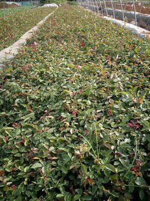 河南省南阳市卧龙区月季花种苗上市了