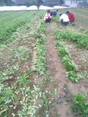 贵州省黔东南苗族侗族自治州凯里市白萝卜菜 5~8cm