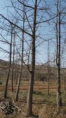 山东省威海市乳山市银杏实生树