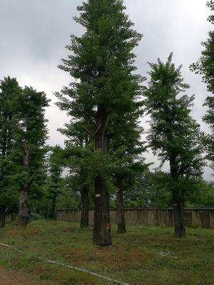广西壮族自治区桂林市兴安县古银杏树