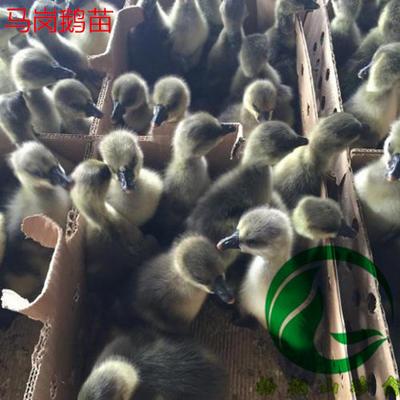 广东省广州市白云区马岗鹅苗