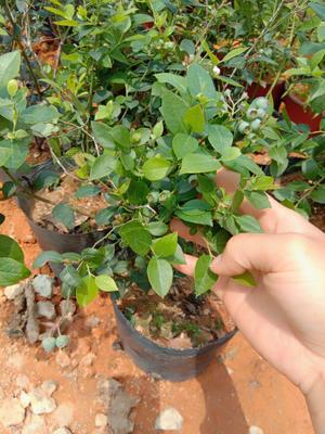 广西壮族自治区钦州市灵山县蓝丰蓝莓苗