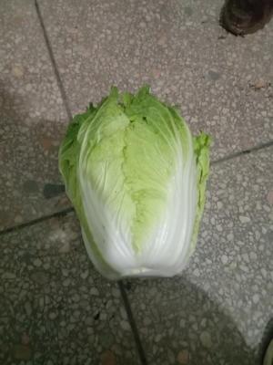 河南省南阳市新野县菊锦大白菜 3~6斤 净菜