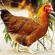 广东省广州市番禺区白条鸡 冷冻