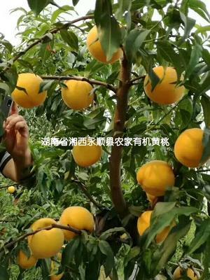湖南省湘西土家族苗族自治州永顺县早玫瑰黄桃 45mm以上 3 - 4两