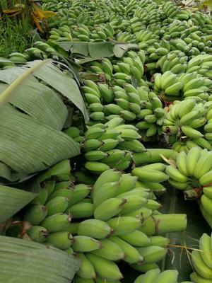 云南省文山壮族苗族自治州西畴县西贡蕉 七成熟 70斤以上