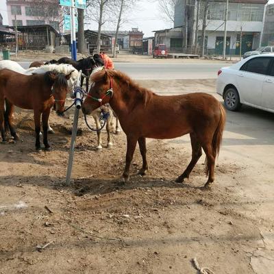 山东省菏泽市郓城县矮马 200-400斤