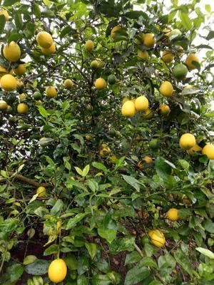 重庆万州区尤力克柠檬 1.6 - 2两