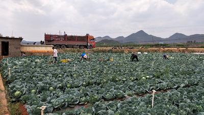 云南省红河哈尼族彝族自治州泸西县甘蓝5号 2.5~3.0斤