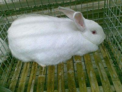 广西壮族自治区来宾市合山市伊拉兔 5斤以上