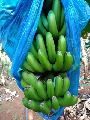 海南省海口市琼山区巴西香蕉 八成熟 40斤以下