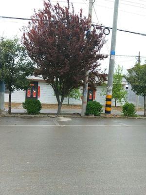 山东省济宁市梁山县红叶李