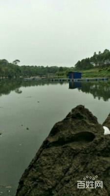 广西壮族自治区来宾市兴宾区网箱草鱼 人工养殖 1-2.5龙8国际官网官方网站