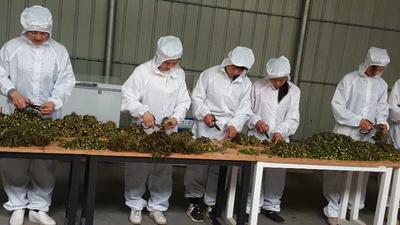 陕西省西安市莲湖区红香椿芽 大棚种植 袋装 一级