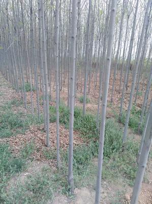 山西省临汾市襄汾县对节白蜡 3.5~5米