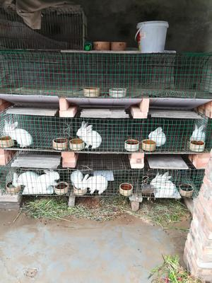河南省安阳市滑县肉兔 1-3斤