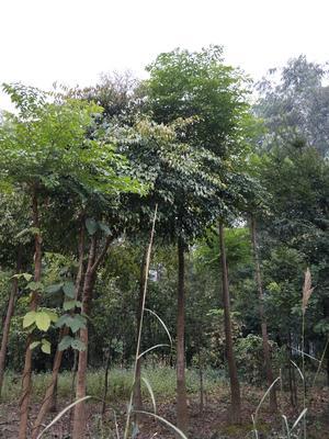 广西壮族自治区柳州市融水苗族自治县鸭脚木