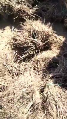 河北省保定市安国市爬山虎 1米以下 1公分以下
