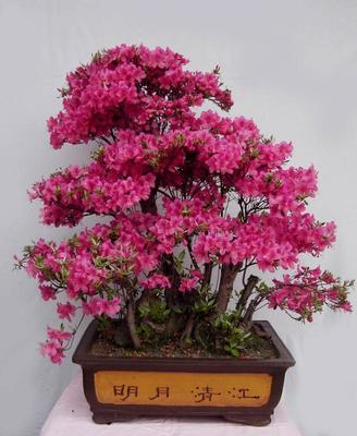 湖北省咸宁市咸安区映山红树桩 0.5~1米
