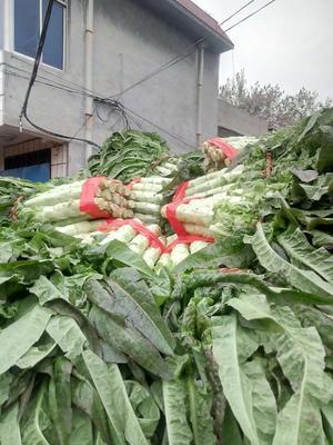 山东省泰安市岱岳区红叶莴笋 70cm以上 1.5~2.0斤