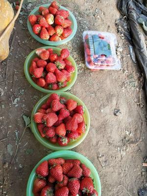 北京昌平区奶油草莓 20克以上