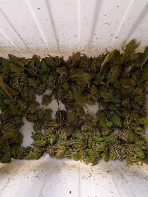 湖北省荆州市江陵县黑斑蛙